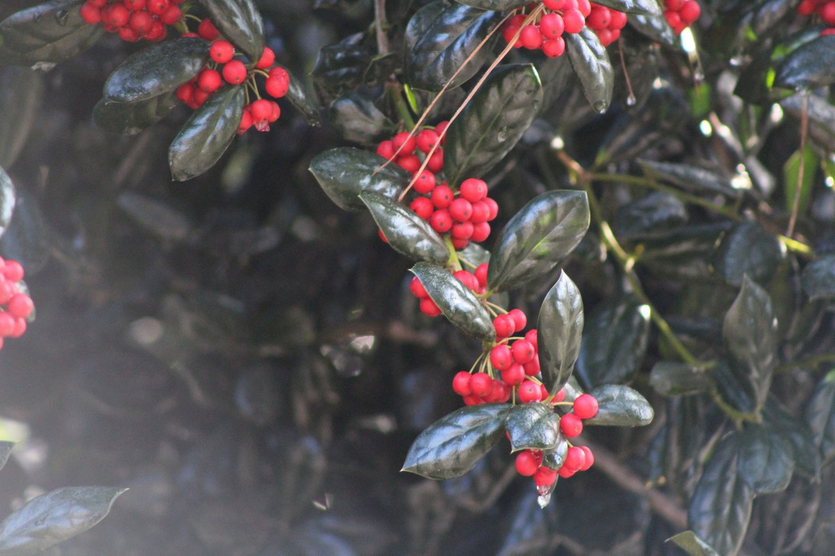 8 Popular Holiday Plants That Are Dangerous to Pets Holly