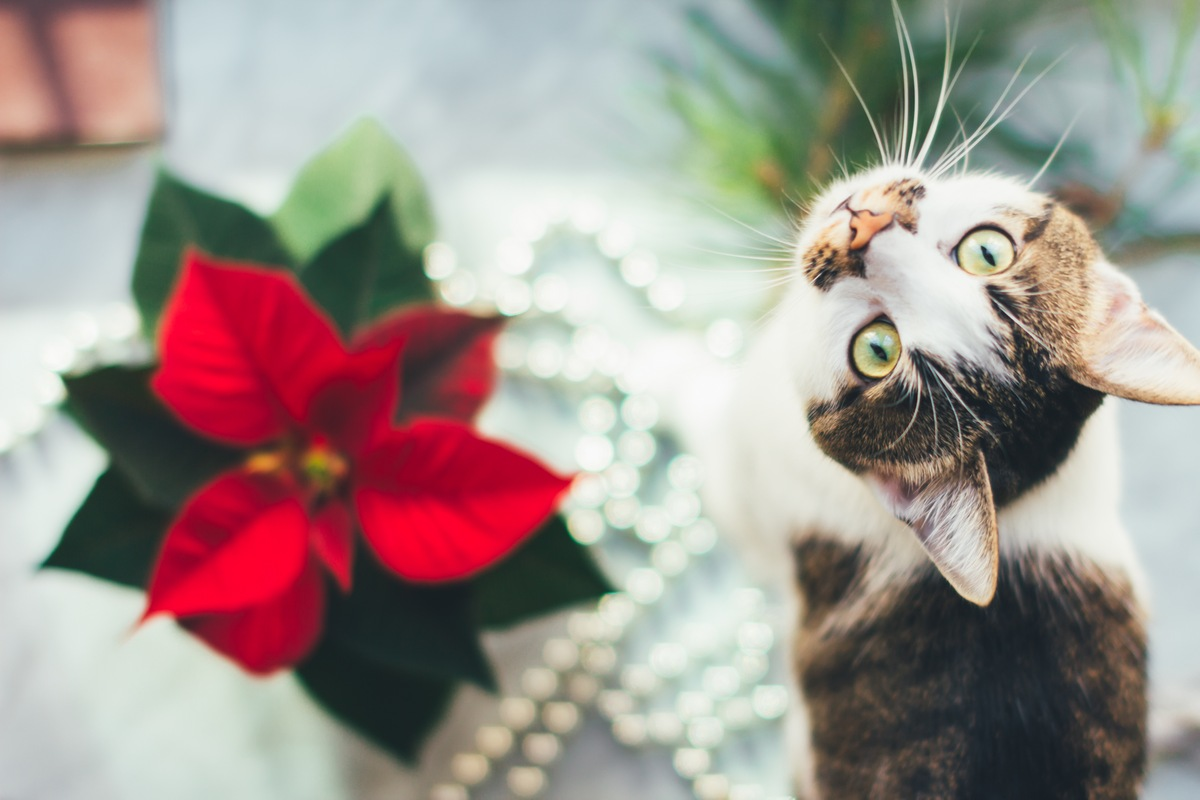 8 Popular Holiday Plants That Are Dangerous to Pets Poinsettias