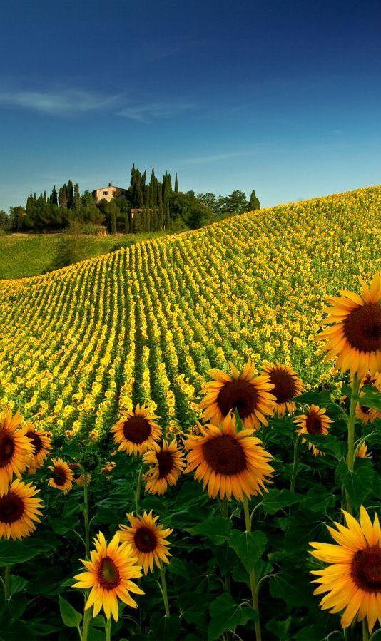 Sunflower Fields,Tuscany, Italy