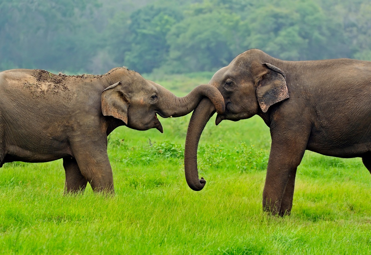 Reproduction 10 Facts about Elephants